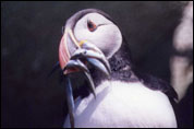 One of Ailsa Craig's Puffins